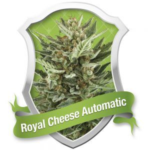 Royal Cheese Automatic